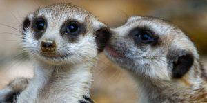 Meerkat tells a secret